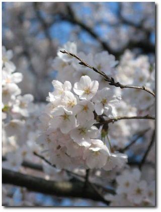 Fleurs de cerisier, © photo Sophie Fort